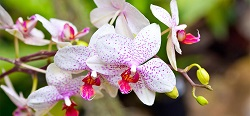 school-chalao-orchid image1