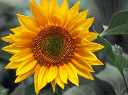 school-chalao-sunflower image1